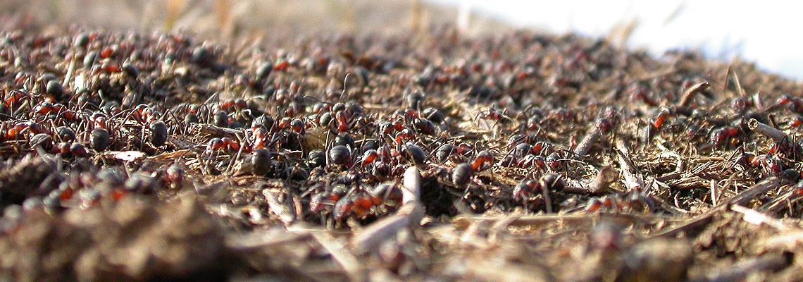 Lenivec, choď k mravcovi, pozoruj jeho cesty, aby si zmúdrel. (Príslovia 6, 6)