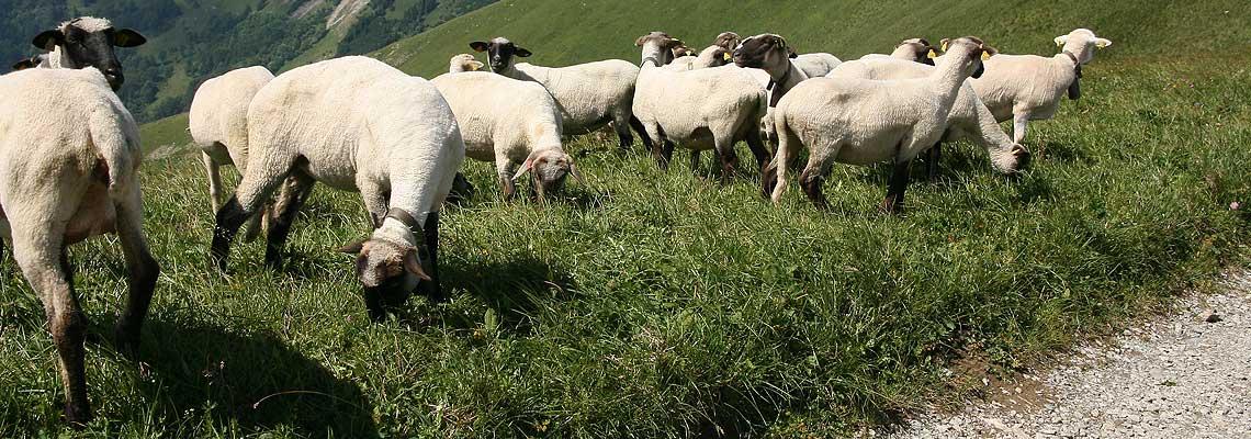 Ja som dobrý pastier. Dobrý pastier život kladie za ovce. (Evanjelium Jána 10, 11)